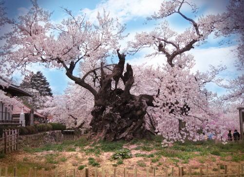 花見&温泉旅行にオススメ!日本有数の『五大桜』を紹介する。