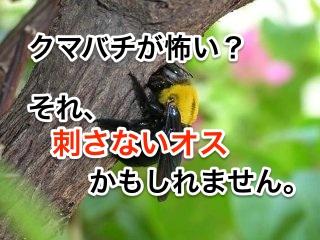 クマバチが怖い?それ刺さないオスかもしれません。