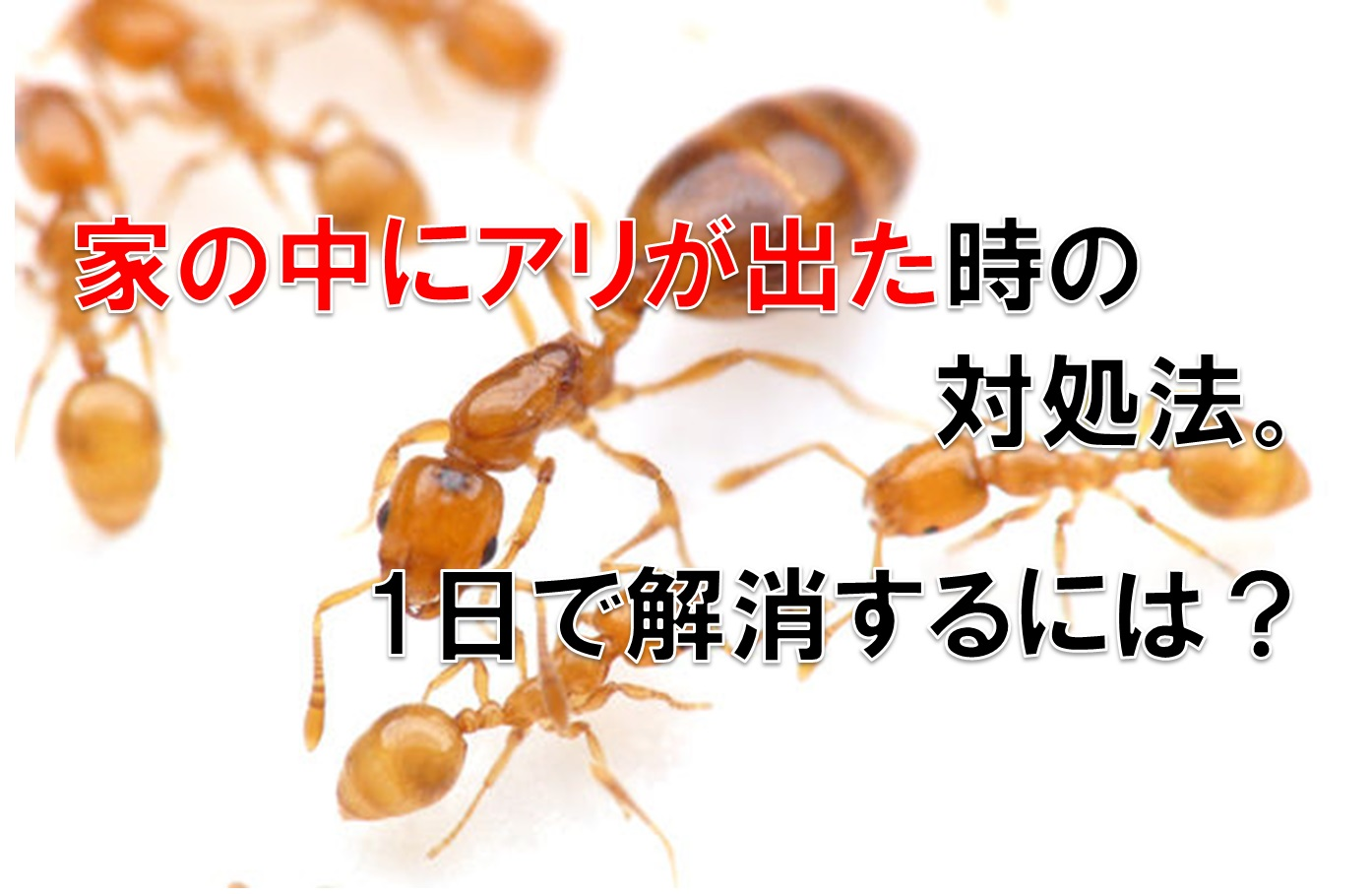 家の中にアリが出た時の対処法。1日で解消するには?