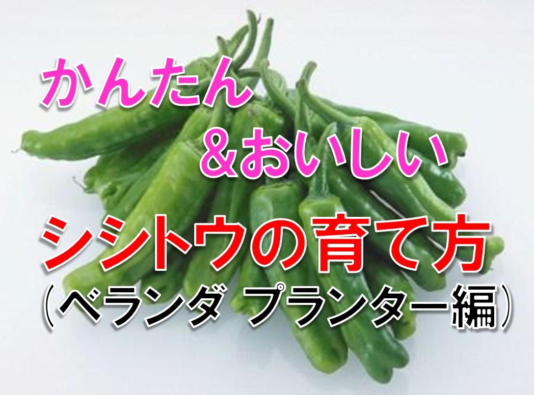 ベランダ家庭菜園 プランターでも沢山の実がなるシシトウの栽培方法