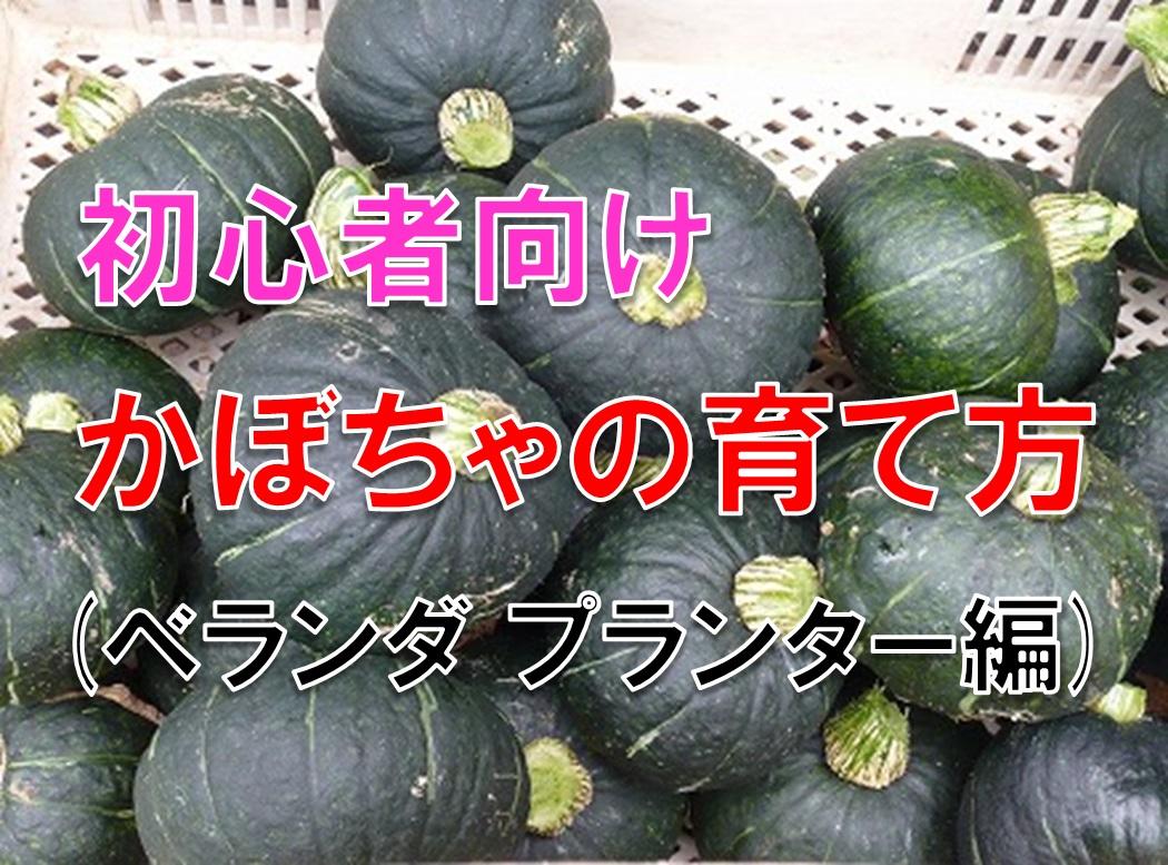 ベランダで家庭菜園 プランターでゴロゴロ育つカボチャの品種と栽培方法を紹介する