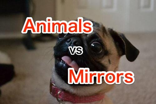 これはカワイイ!鏡と戦う動物たち