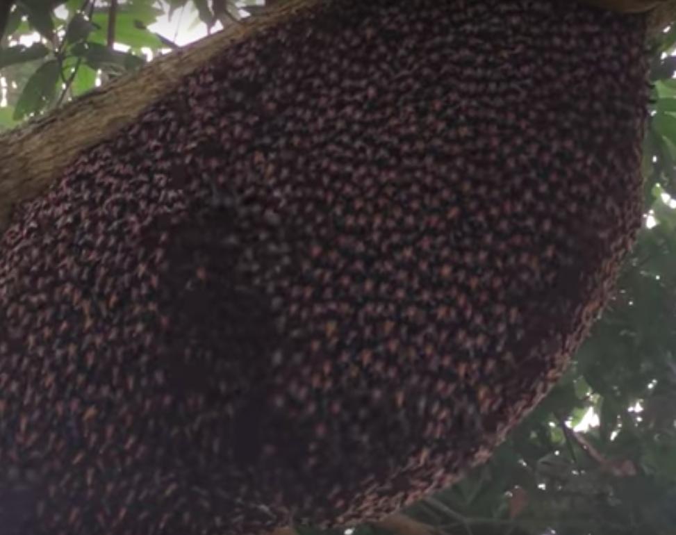 おぞましい波紋を見せる春先のミツバチの大群。これって安全?近寄っても大丈夫?